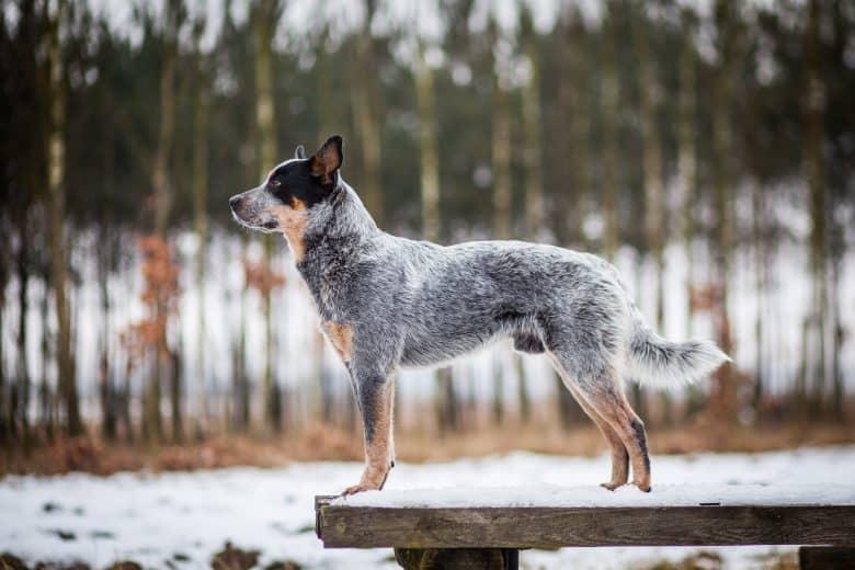 A purebred Blue Heeler