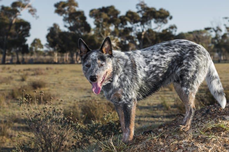 A full-bred Blue Heeler dog