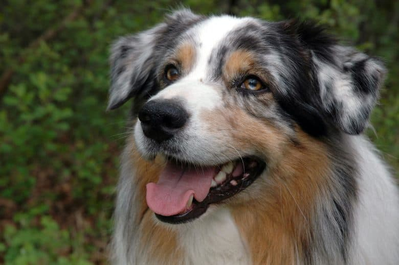 Blue Merle Australian Shepherd dog portrait