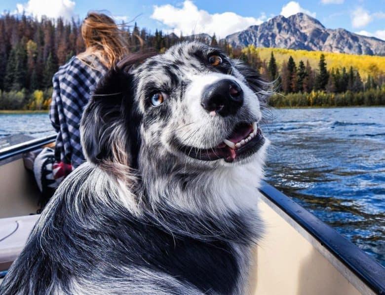 Happy Blue Merle Australian Shepherd dog riding on a boat