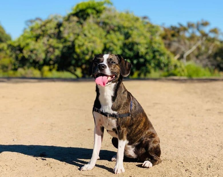 Beagle Boston Terrier mix dog sitting and panting under the sun