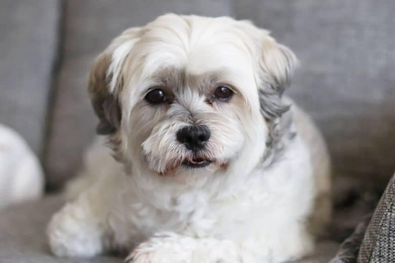 Bolognese and Shih Tzu mix dog portrait