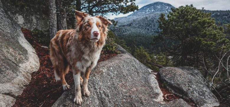 Border-Aussie mix dog standing on the rocky hill