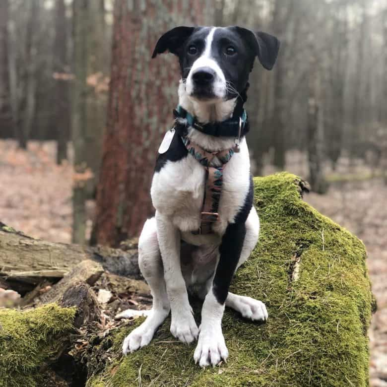 Border Collie and Pit Bull mix dog posing in the woods
