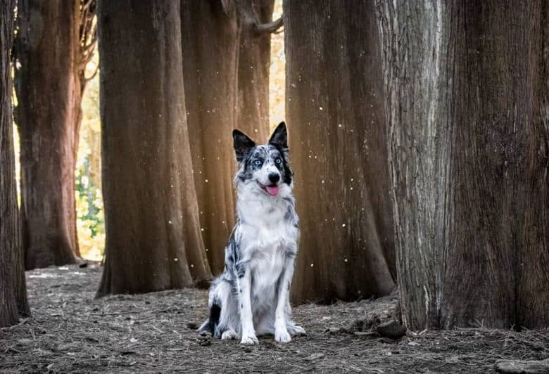 A majestic Border Collie sitting in a forest