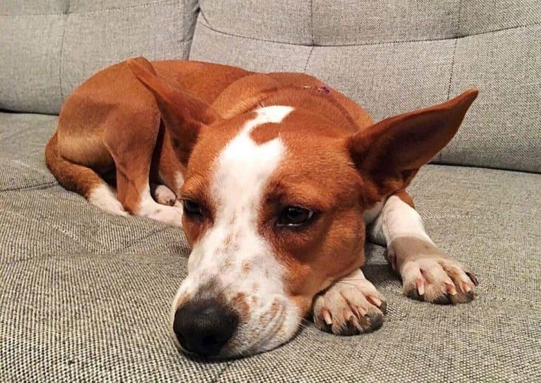 Bored Beagle Basenji mix dog lying on the couch