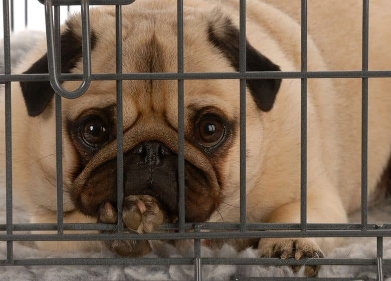 Bored Pug dog in a wire dog crate