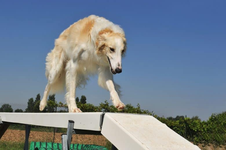 A purebred Borzoi doing an agility training