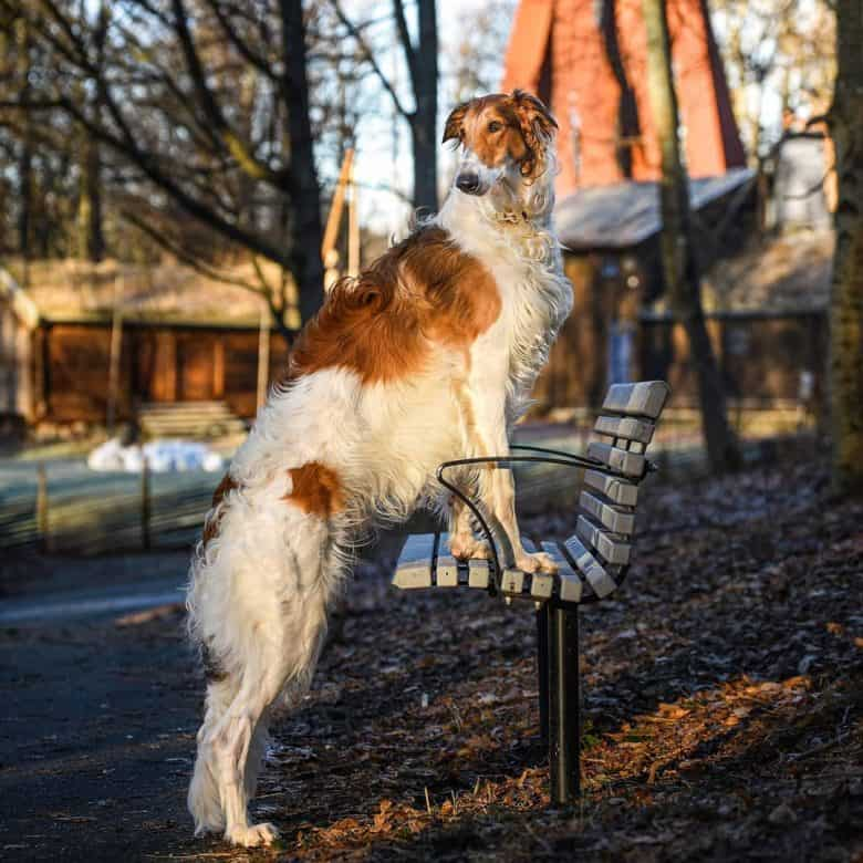 A Borzoi standing on a bench showcasing its height