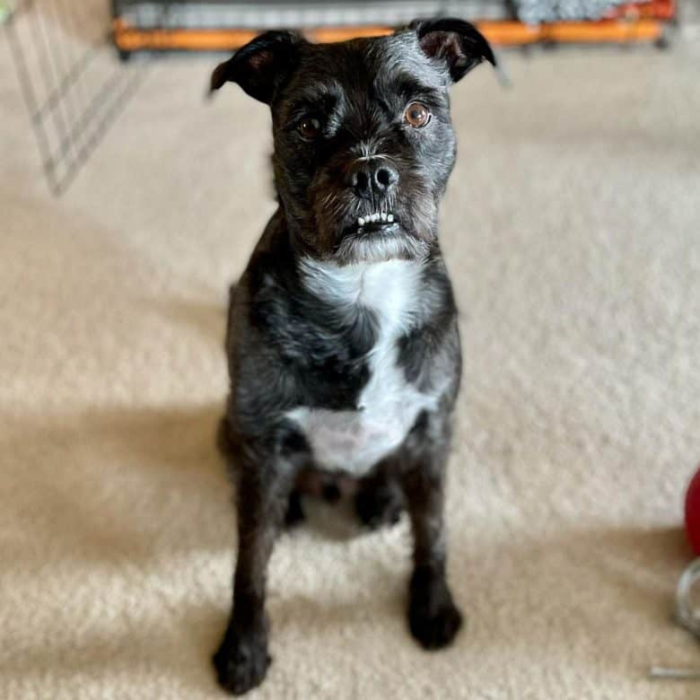 Boston Terrier and Miniature Schnauzer mix dog