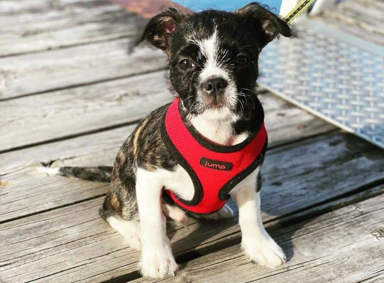 Boston Terrier and Shih Tzu mix dog wearing red harness