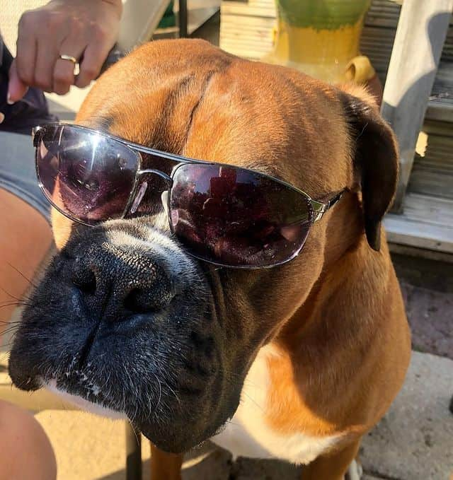 Cool-looking Boxer dog with its sunglass