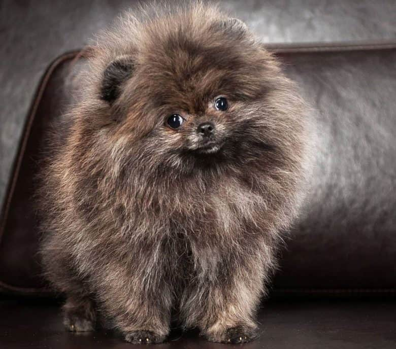 Brindle Pomeranian dog standing on a leather seat