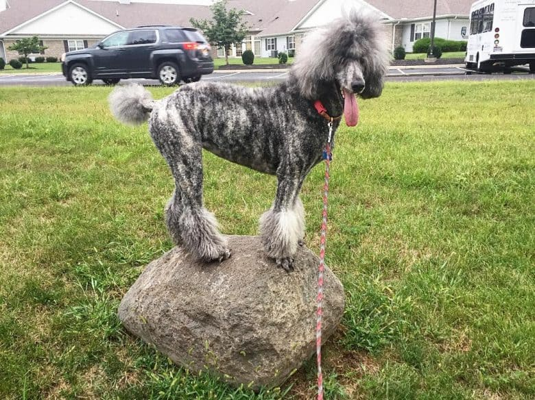 Brindle Poodle dog standing on a rock