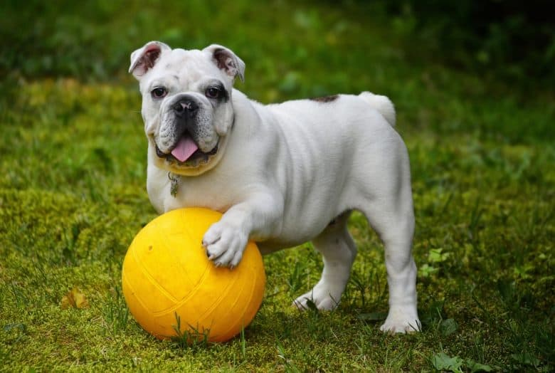 A British Bulldog standing and holding a yellow ball
