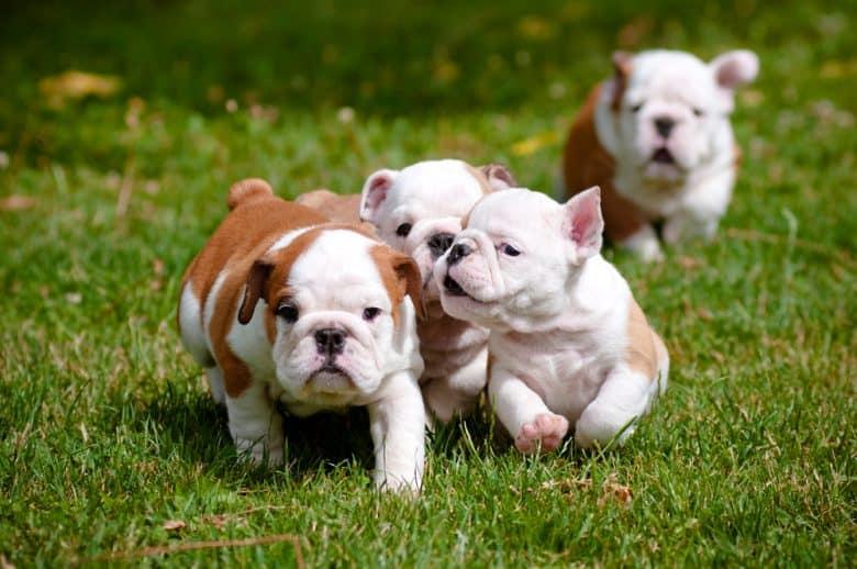 Four British Bulldog puppies on a run