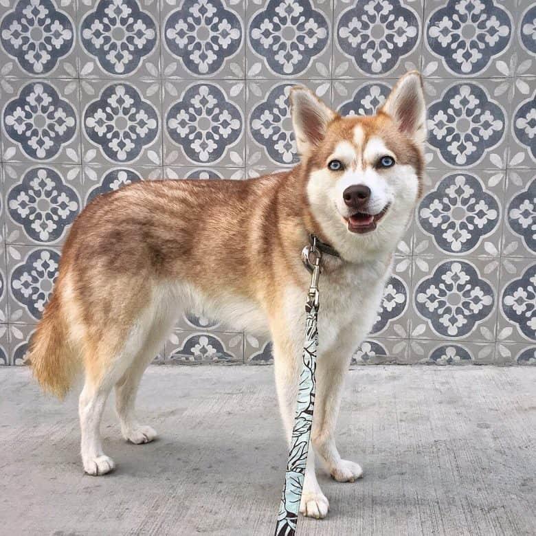 A brown Alaskan Klee Kai standing with a leash