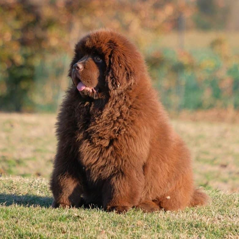 A brown large cuddly Newfoundland dog sitting