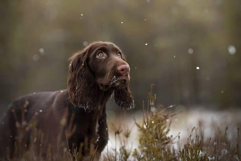 A snowy day with a brown Field Spaniel outside