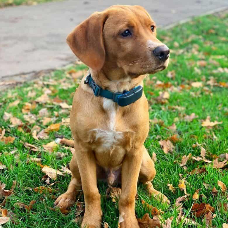 Brown Mini Labrador portrait