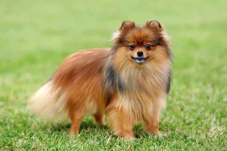 A brown Pomeranian standing on grass