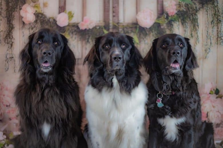 A brown, black, and white Newfoundland sisters