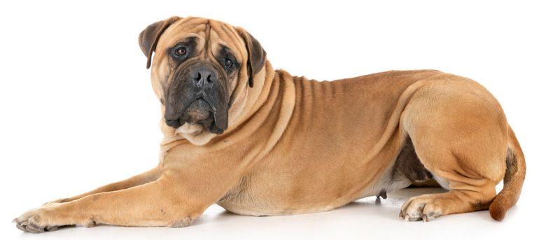Big Bullmastiff dog portrait