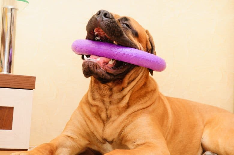 a Bullmastiff playing and chewing a purple dog toy