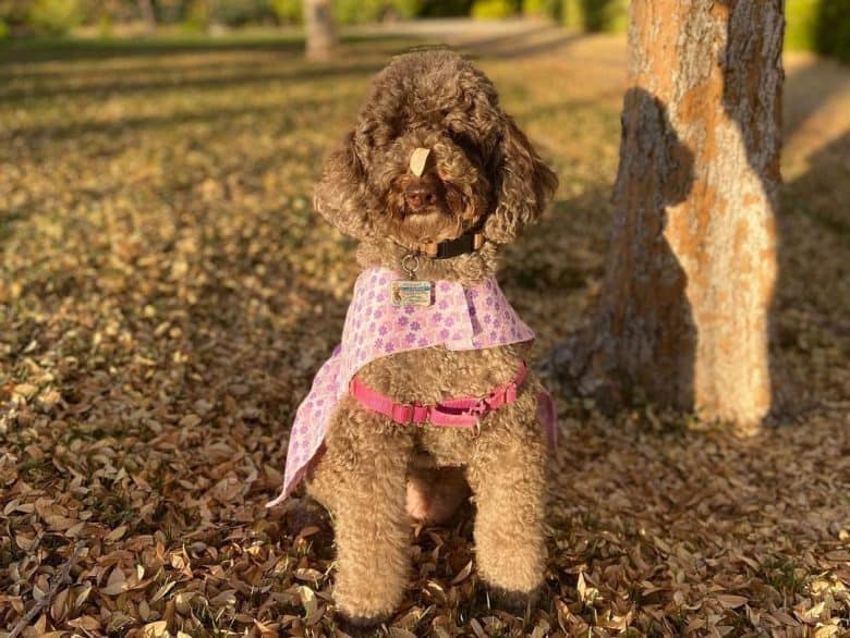 Cafe Au Lait Poodle dog sitting under the tree