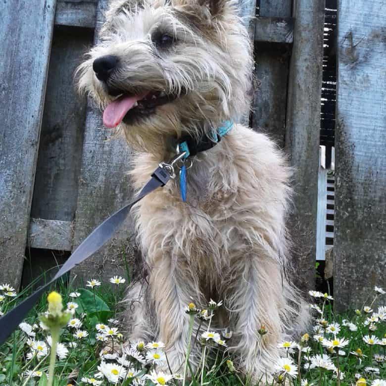 Cairn Terrier and Schnauzer mix dog