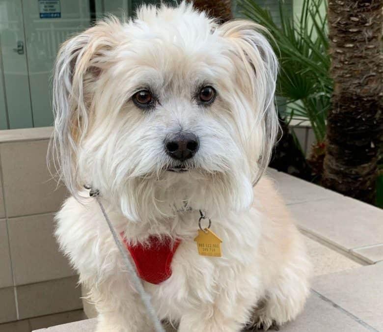 Cairn Terrier and Shih Tzu mix dog portrait