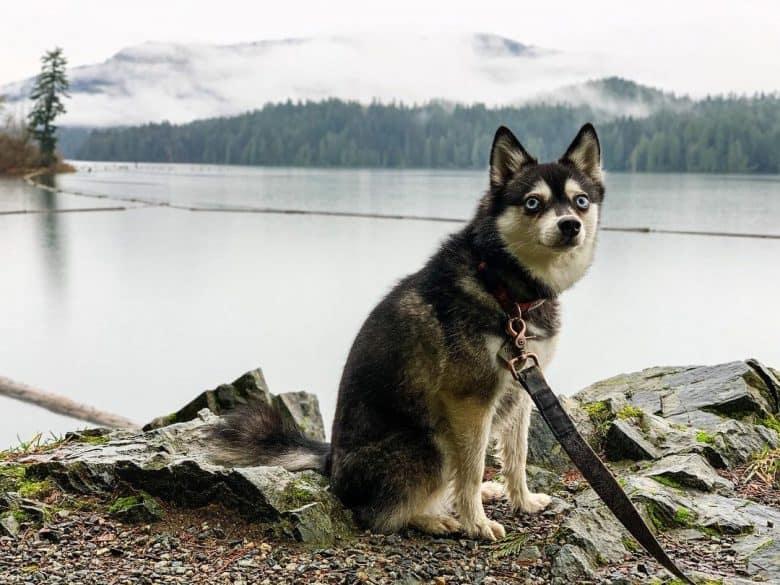 A camping Alaskan Klee Kai sitting near a lake