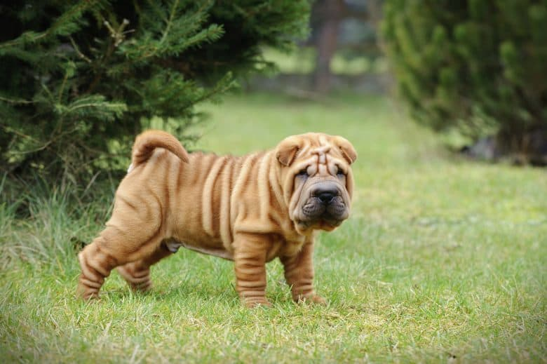 A Cantonese Shar Pei puppy portrait at the lawn