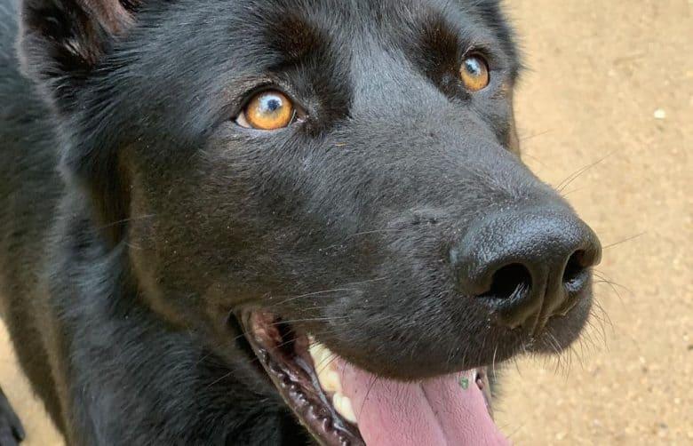 A close-up of a Shepnees golden eyes