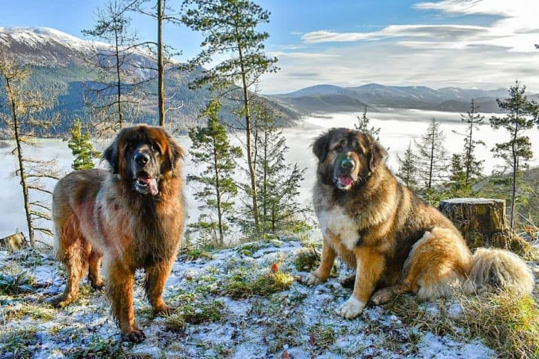 Caucasian Shepherd dogs on snow