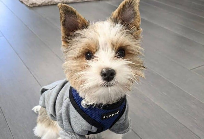 a Parti Yorkie wearing a cozy sweater with a blue harness