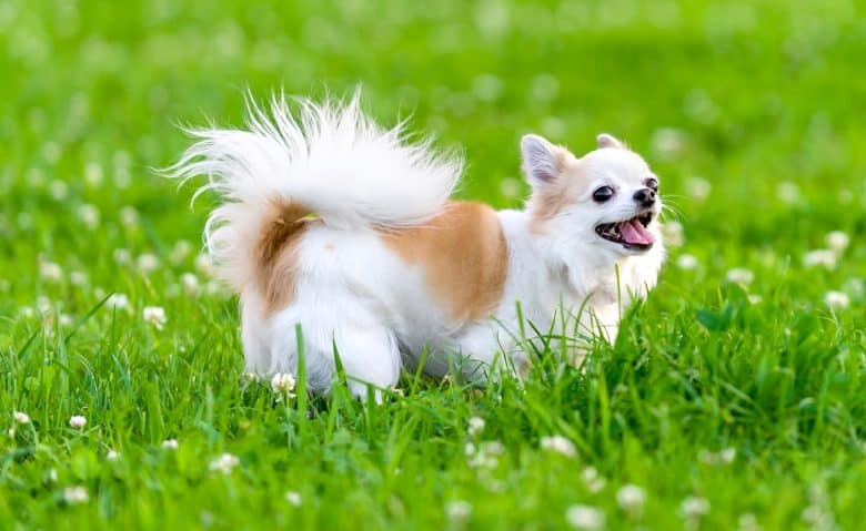 Cheerful Chihuahua dog walking on the grass