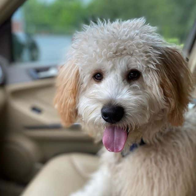 Cheerful Whoodle pose