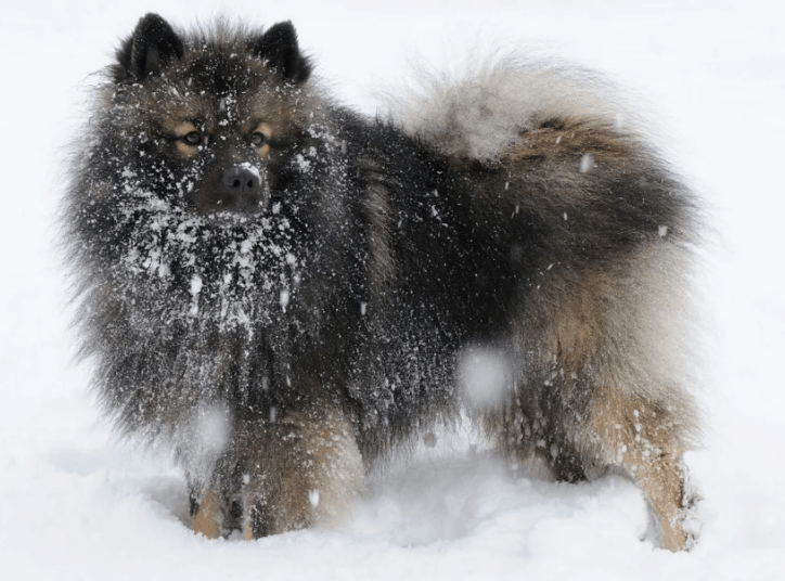 A Chien Loup loving the snow