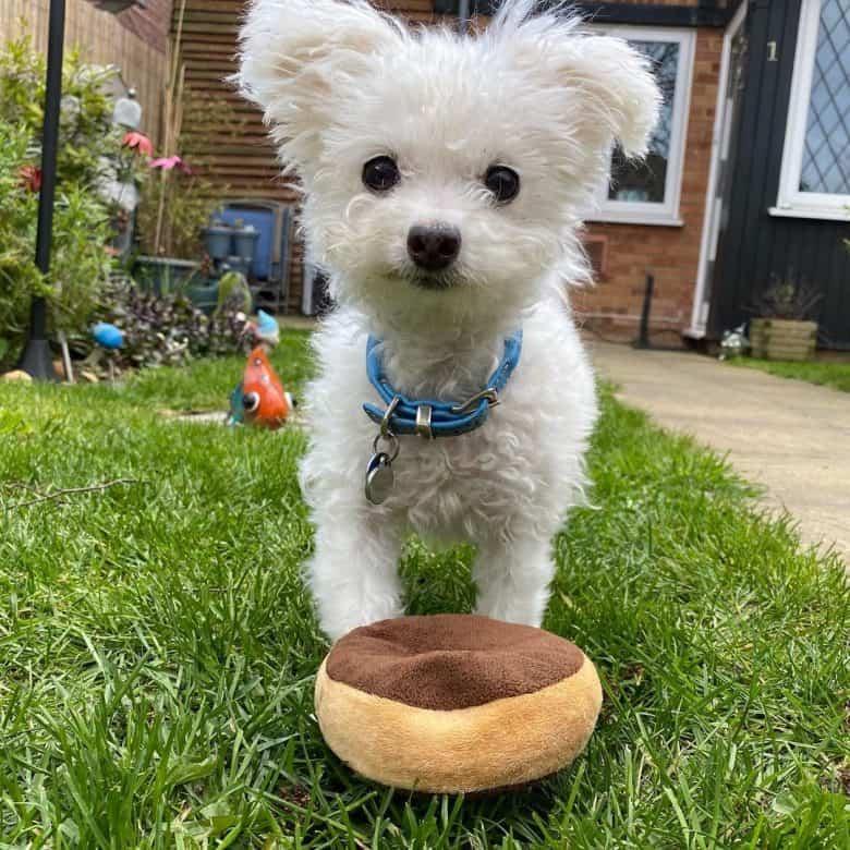 Cute Chihuahua Bichon Frise mix dog with a doughnut toy