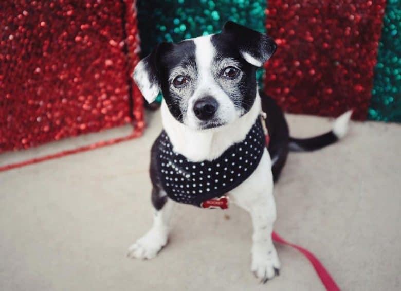 Chihuahua Boston Terrier mix dog