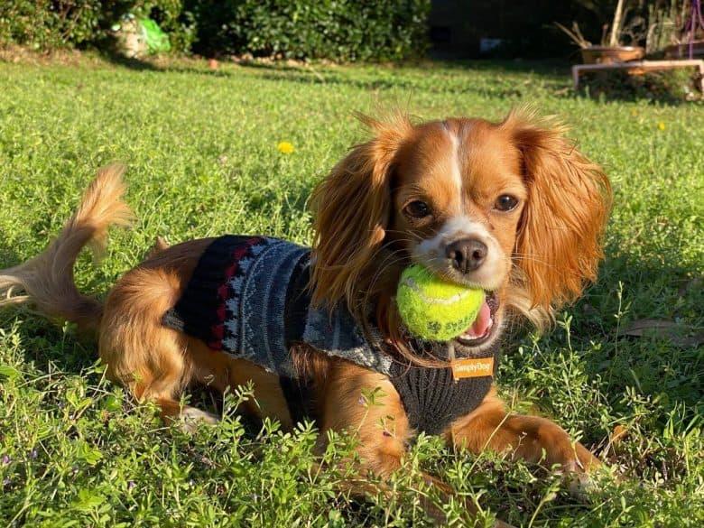 Chihuahua Cocker Spaniel mix dog chewing tennis ball