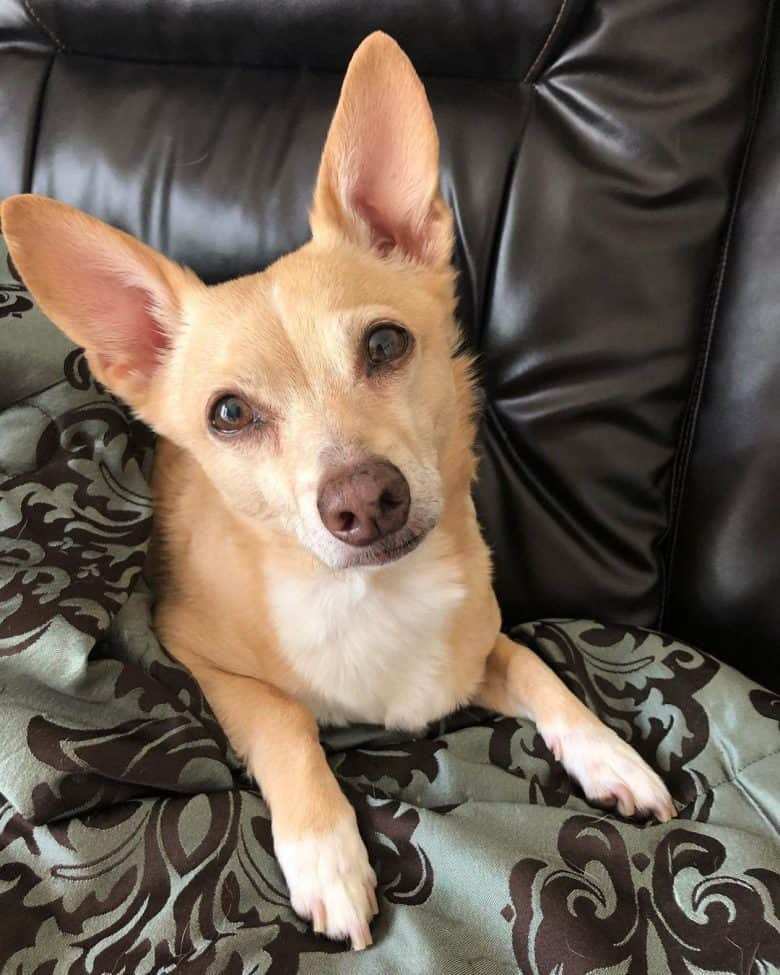 Chihuahua Corgi mix dog lying on the couch