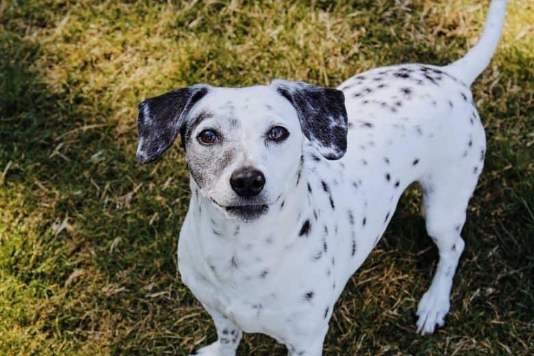 Chihuahua Dalmatian mix dog waiting for a treat