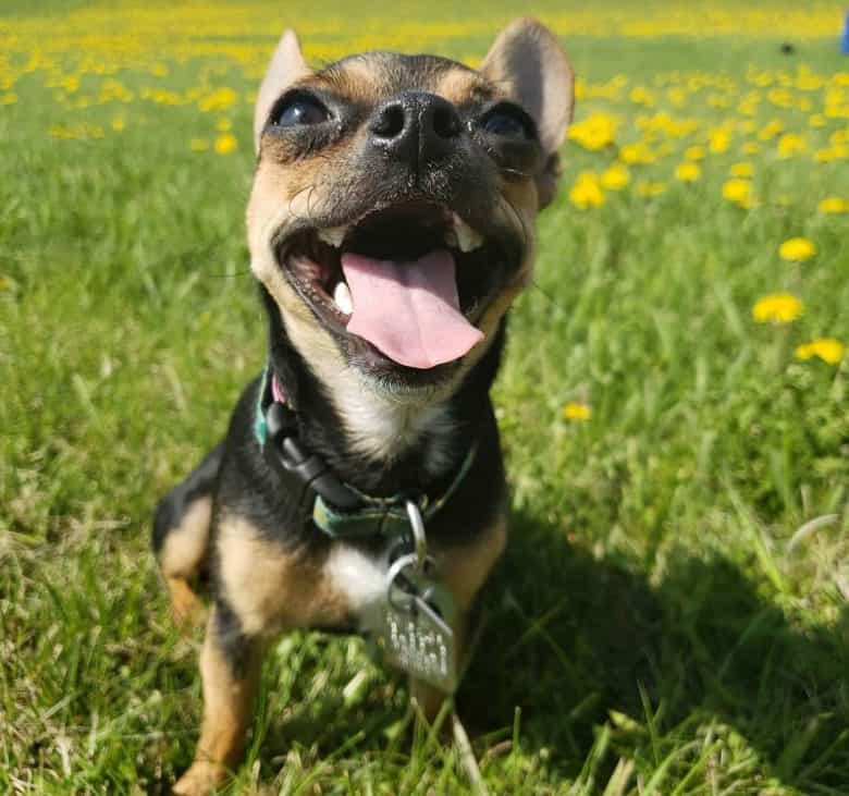 Chihuahua and French Bulldog mix dog excited for treat
