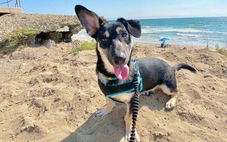 Chihuahua German Shepherd mix dog on the beach
