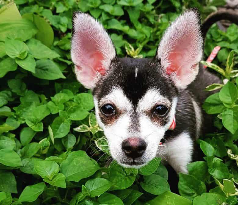 Chihuahua Husky mix dog portrait