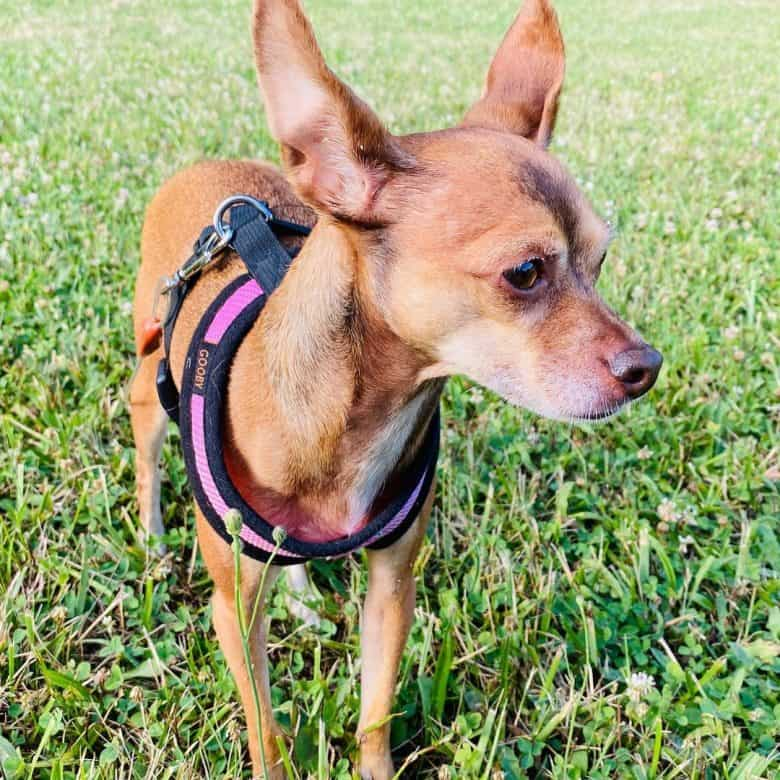 Chihuahua Italian Greyhound mix dog standing on the meadow
