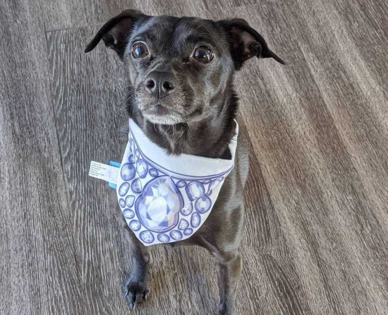 Chihuahua and Labrador Retriever mix dog wearing scarf