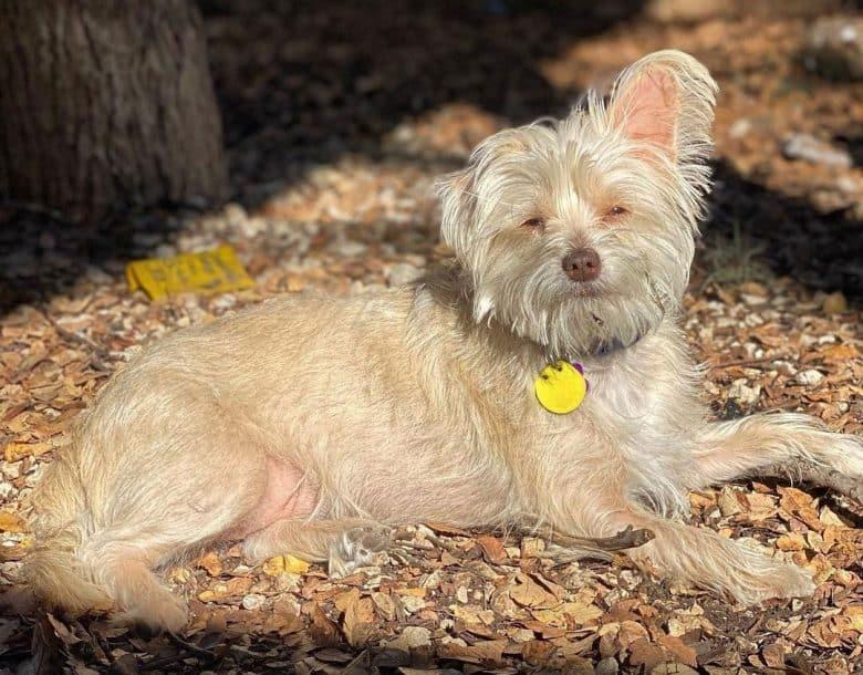 Chihuahua Lhasa Apso mix dog lying under the sun